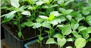 Посейте семената от пипер по този начин! Разсадът пониква бързо и не боледува!