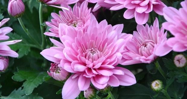 Ето кои цветя привличат женското щастие! Трябва да ги имате в двора или в саксия в апартамента