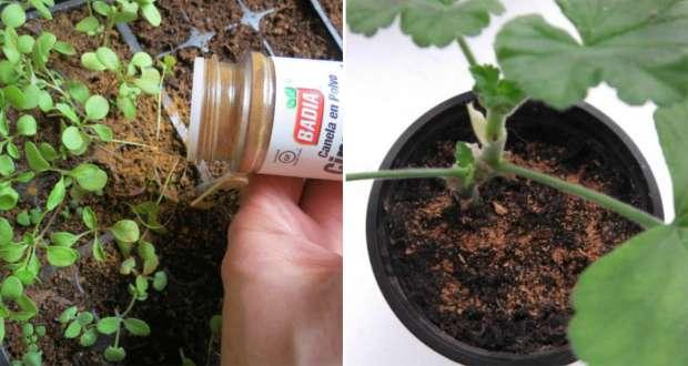 Как се използва канела за цветята? Ще имат буен растеж и цъфтеж