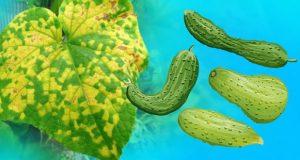 Защо пожълтяват листата на краставичките и 4 народни рецепти как да ги спасите