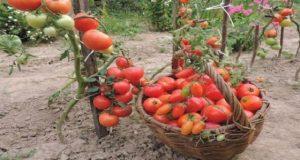 Защо е нужно да оголвате доматите? Няколко безценни съвета!