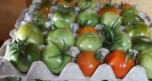 Дойде ли септември слагам доматите в картонени кутии за яйца - перфектният трик от време оно ще го оцените: