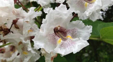 Trumpetträd/katalpa (Catalpa bignonioides). Foto: Dan Abelin.