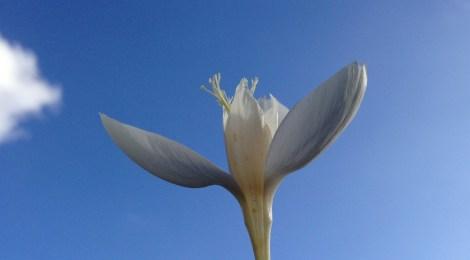 Iriskrokus (Crocus banaticus 'First Snow'). Foto: Dan Abelin.