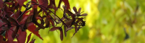 Solfjäderslönn (Acer japonicum). Foto: Dan Abelin.