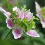 Vitsippa (Anemone nemorosa). Foto: Dan Abelin.