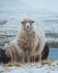 sheep standing on snowy meadow in countryside