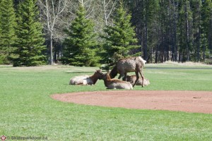 Elk by the Banff Skatepark