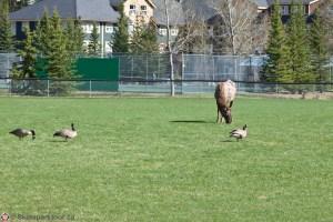 Elk & Geese by the Banff Skatepark
