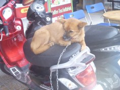 Vietnamese dog behaviour - spending the day waiting on the motorbike