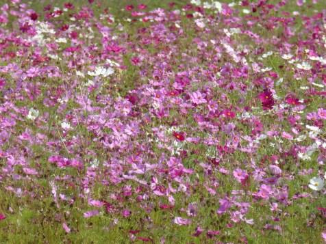 Purple flower field at Jim Thompson farm