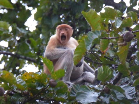 Proboscis Monkey, female