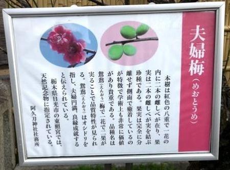 阿久刀神社の夫婦梅