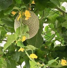 メロンの花