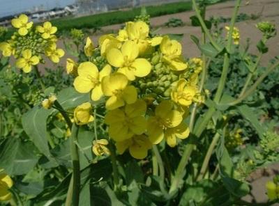 スズナの花
