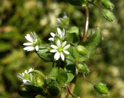 ハコベラの花