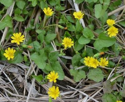 ホトケノザ(タビラコ)の花
