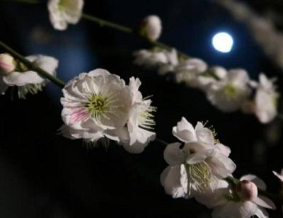 夜の梅と月夜