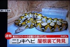 アミメニシキヘビ