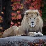 Лев - владыка джунглей