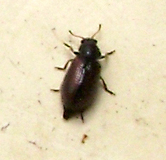 Laricobius erichsonii