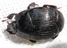 Margarinotus (Ptomister) brunneus