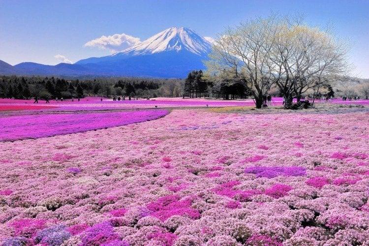 Coisas para se fazer em Maio - Japão - Festivais e eventos de maio - festival das flores shibazakura 1