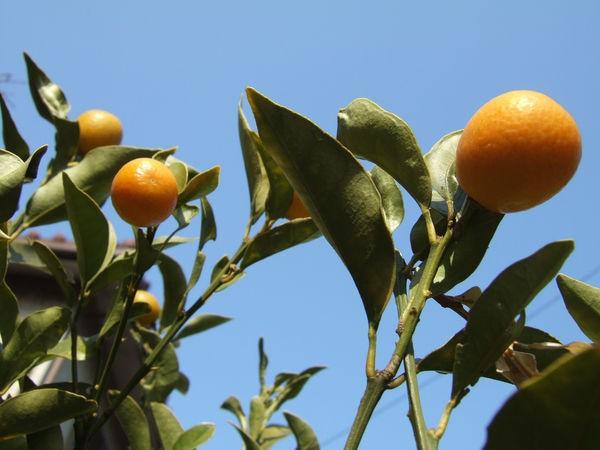 Frutas cítricas do Japão - Kinkan, Daidan, Sudachi e Yuzu - frutas citricas limao 1