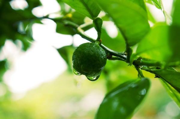 Frutas cítricas do Japão - Yuzu, Kinkan, Daidan e Sudachi