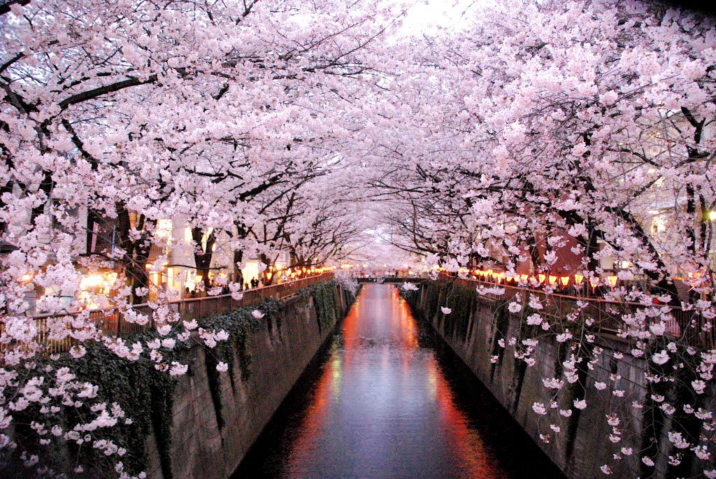 Hanami - Apreciando as flores 1