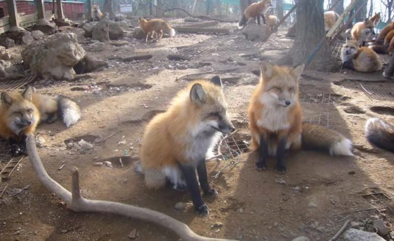 Zao kitsune mura - fox village en japón