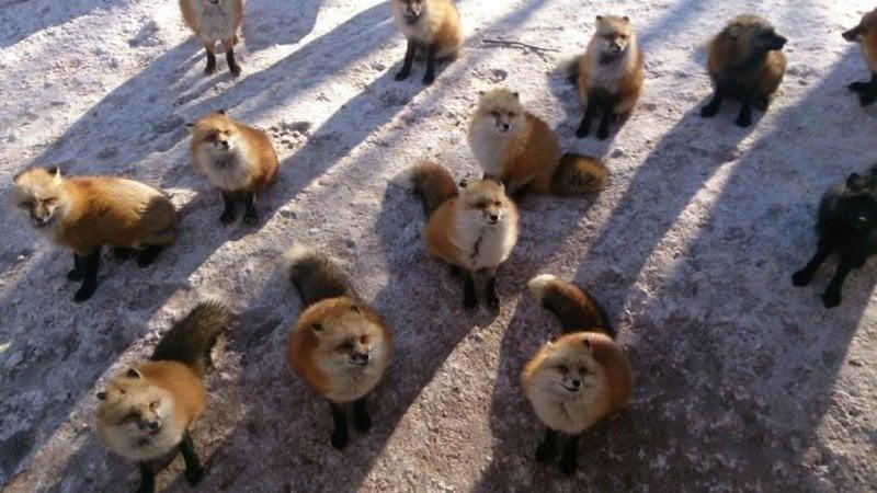 Zao Kitsune Mura - Vila das raposas no Japão