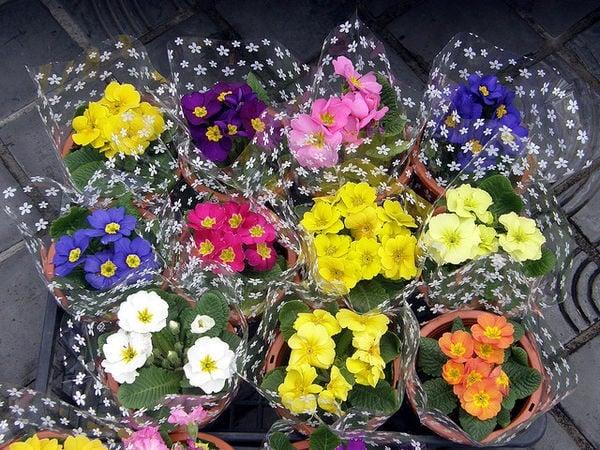 O Significado das flores no Japão - primrose 11511 2