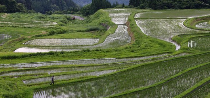 arroz japonês