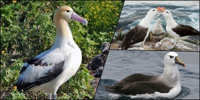 5 Animais da fauna japonesa ameaçados de extinção - albatroz 1