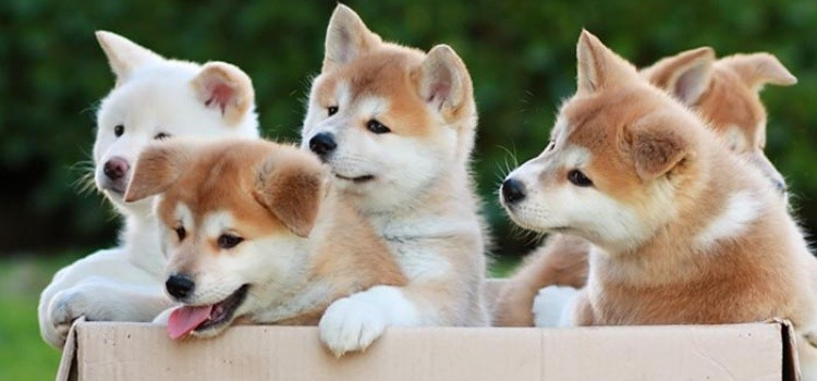Meet 11 breed of Japanese dogs