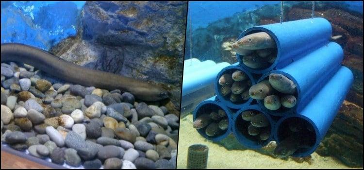 Unagi - freshwater eels in japanese cuisine