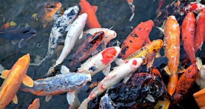 Peixe Koi - Curiosidades e lendas das carpas japonesas