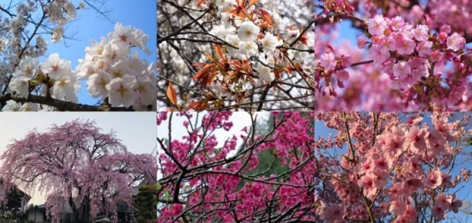 Sakura - Tudo sobre as cerejeiras do Japão