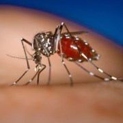 Chikungunya virus new concern for travellers