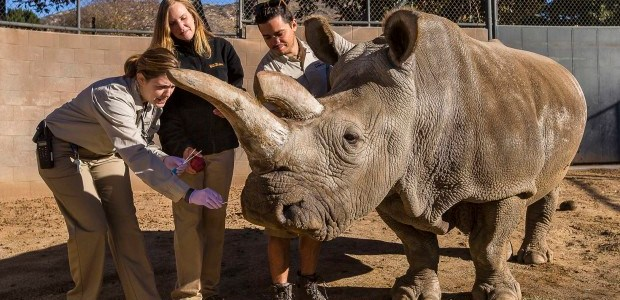 San Diego Zoo's northern white rhino dies; only 3 left in the world