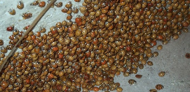 Biting lady beetles invade Toronto