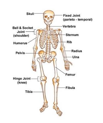 diagram of skeletal ribs 2006 gmc sierra 2500hd stereo wiring system