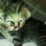 Bettie-Bee-two-faced-cat-Janus-Cat-diprosopus