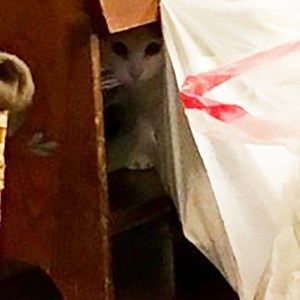 Pierogi hiding cat zoom