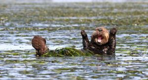 cheering-sea-otter-wildlife-photography-awards-winners-2017