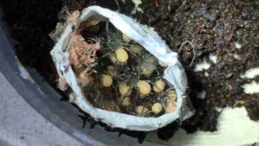 funnel web spider egg sac.jpg