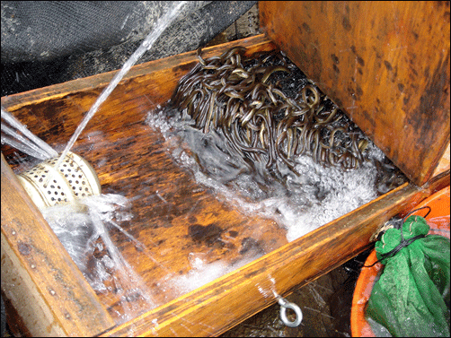 Two Men Indicted for Illegally Trafficking American Eels