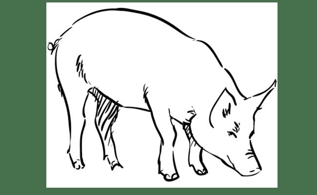 How To Draw A Pig Step By Step Sketchbooknation Com