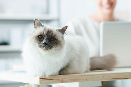 Что делать если кошка плачет. Почему кот кричит и как его успокоить? Почему кошка плачет: причины, лечение